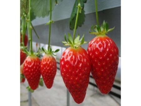 湖南章姬草莓苗芸丰,专业的成产厂家值得信赖!