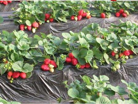 山东甜查理草莓苗来芸丰高品质,低价格!