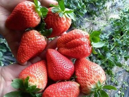山东甘露草莓苗产品介绍