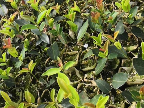 株洲高產油茶苗哪家好-巷口油茶價格