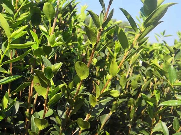 一年生油茶苗裸根苗-哪里能买到攸县油茶苗