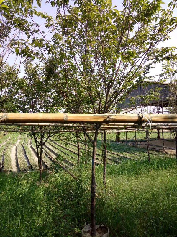 目前銷量較高的碧桃在漳州售價多少