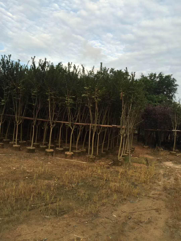 小葉紫薇江西哪個地區苗場供應價低