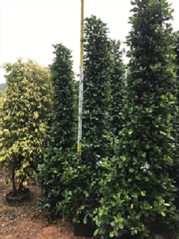目前福建高3米的火山榕哪家苗木場更便宜