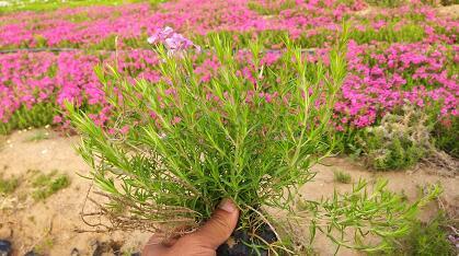一二年生草花种类,宿根草花有哪些,露地花卉种类