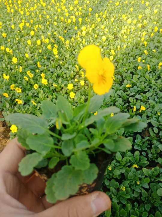 【哪里有角堇】【角堇有几种花色】【草花角堇】【开花角堇】