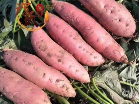 蜜薯苗价格-信誉好的蜜薯苗供应商-芸丰草莓苗繁育基地