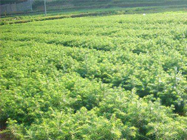 楠木苗哪里买-在哪能买到质量好的绿化苗基地