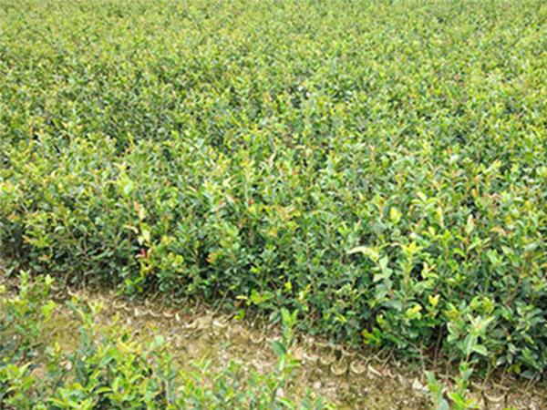 油茶苗哪里有供应_在哪能买到高质量的油茶苗基地