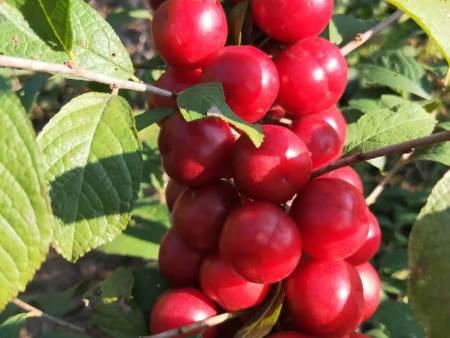 大連鈣果果實|易成活的鈣果果實優選本溪永盛鈣果種苗