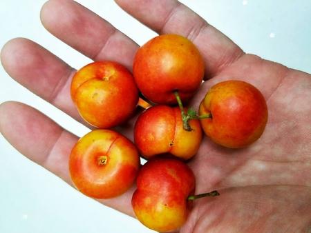 高鈣果價格-搶手的鈣果果實出售