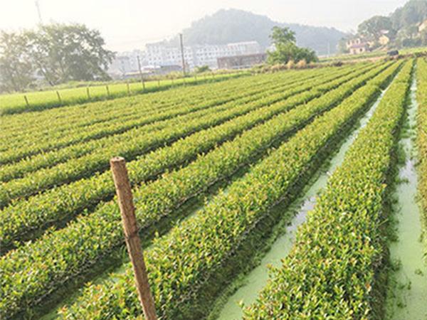 油茶树苗供应 供应湖南质量好的一年轻基质杯苗