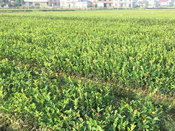 安徽攸县油茶价格|供应湖南质量好的两年生轻基质杯苗