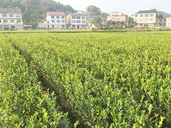 内蒙古三华油茶-易成活的三年生轻基质杯苗出售