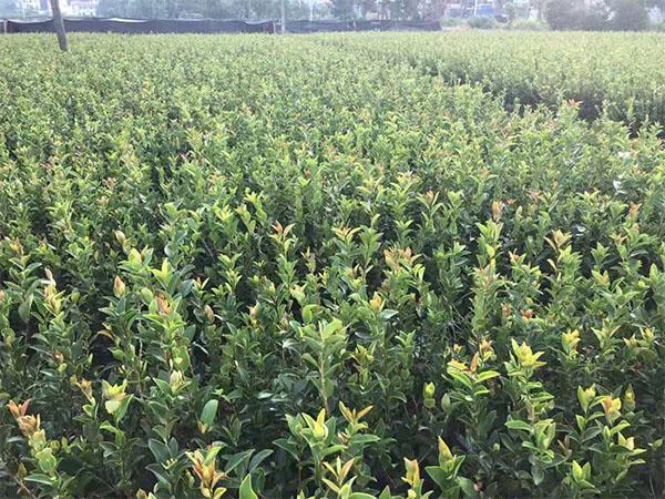 广东油茶苗价格-高质量的景逸源两年生杯苗出售