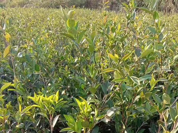 福建油茶苗价格-供应湖南品种好的景逸源两年生杯苗