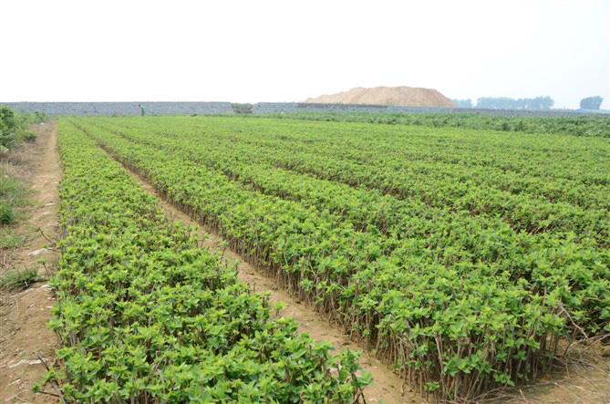 哪里有賣紅色金銀花_要買金銀花苗就到平邑中科金銀花種植合作社
