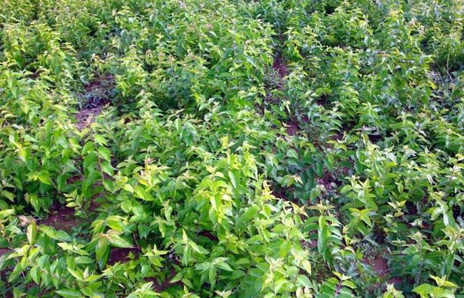 临沂金银花种苗种植基地|内蒙古木本树型金银花