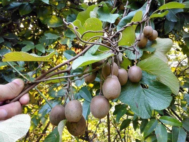 超值的贵州草角山野生新鲜猕猴桃供销-北京售卖野生猕猴桃