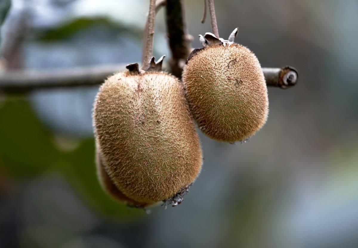 贵州优惠的贵州草角山野生新鲜猕猴桃供应|健康的野生猕猴桃