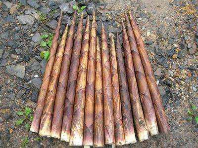方竹笋价格行情,贵州草角山生态农旅供应物超所值的草角山野生方竹笋