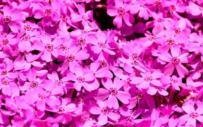 芝櫻供應商-豐陽花卉苗木劃算的芝櫻出售