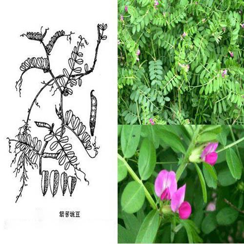 内蒙箭舌豌豆种子-宁夏箭舌豌豆种子价格-厂家供应-厂家价格