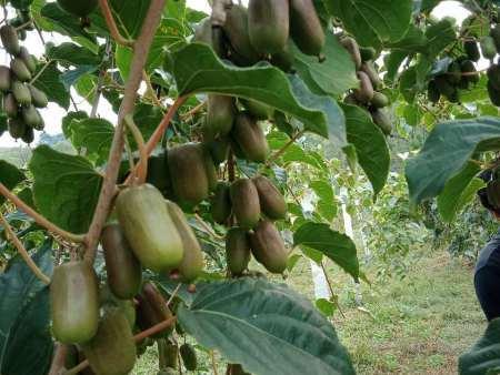 丹东软枣猕猴桃苗:软枣猕猴桃具体栽种事宜