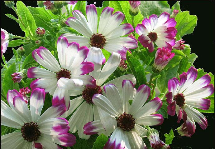 花開成海——瓜葉菊哪里有,瓜葉菊種植基地,瓜葉菊供應商