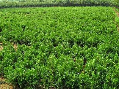 【morning】瓜子黃楊綠化苗,瓜子黃楊供應商