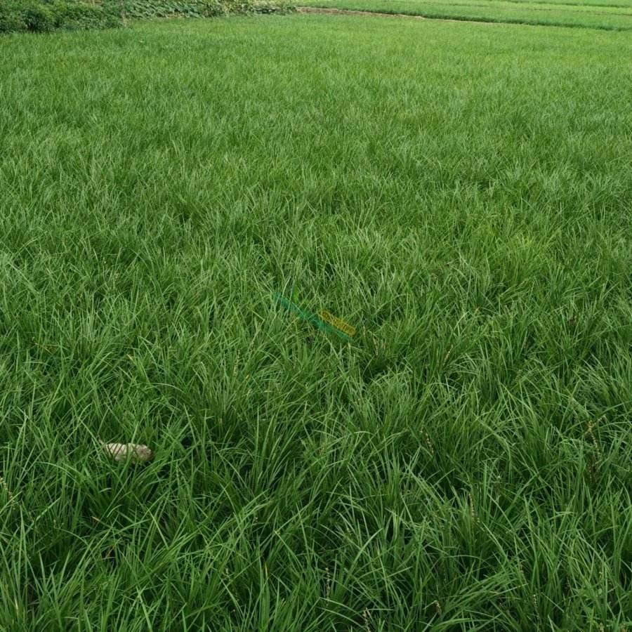 麦冬草批发-哪里能买到优惠的麦冬草