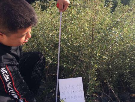 新疆沙棘-想买品种好的西藏沙棘上哪