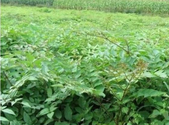 優惠的刺嫩芽苗在哪買,刺嫩芽批發