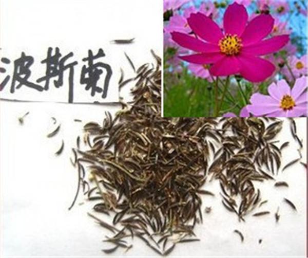 甘肃花卉种子|西藏花卉种子供应商