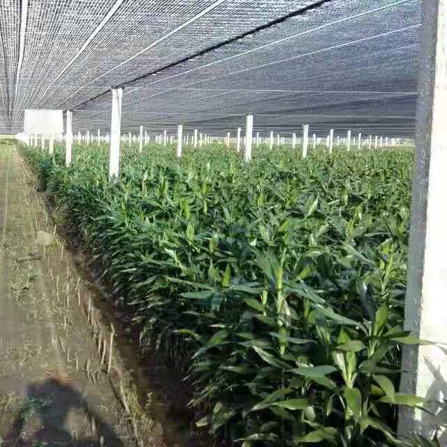富贵竹//富贵竹种植基地