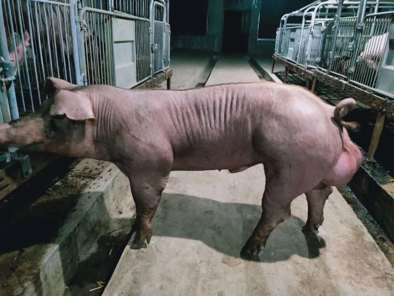肉狗苗种类多|质量好的猪苗厂家在哪里