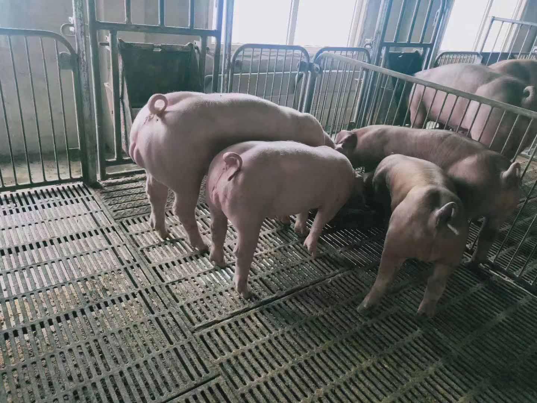 豬苗出售-價格實惠的仔豬莒南金帝養殖供應