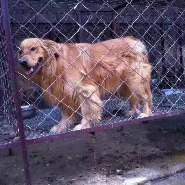 猪苗厂家_优良的宠物狗哪里有供应
