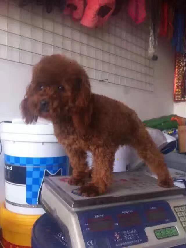 肉狗苗信譽好-供應臨沂有品質的寵物狗