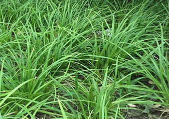 青绿苔草基地|青绿苔草价格