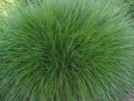 山东青绿苔草-供应山东销量佳的青绿苔草