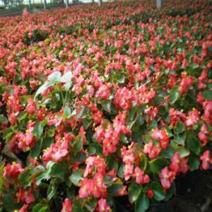 精品綠化苗四季秋海棠四季秋海棠多少價格起