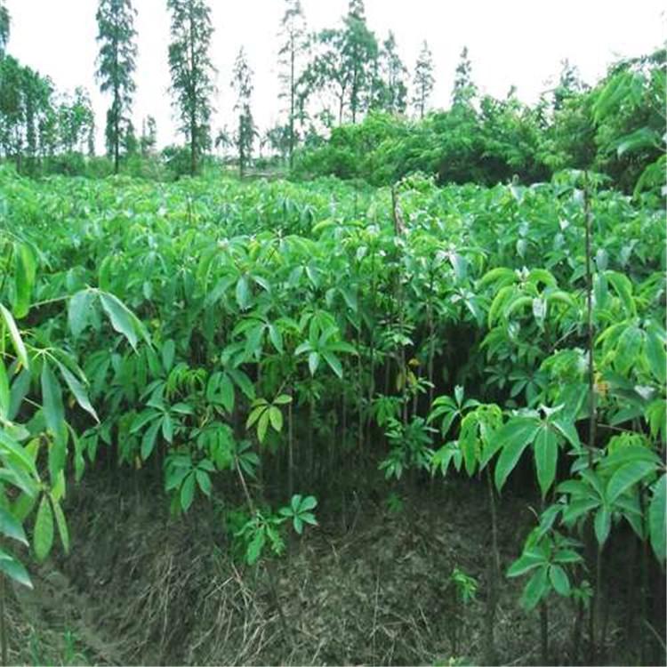 浙江寧波特價供應木棉樹精品綠化苗木木棉樹多少元起