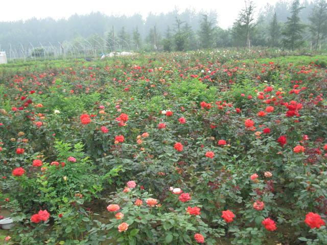 溫州市種植豐花月季豐花月季優質供應價格低