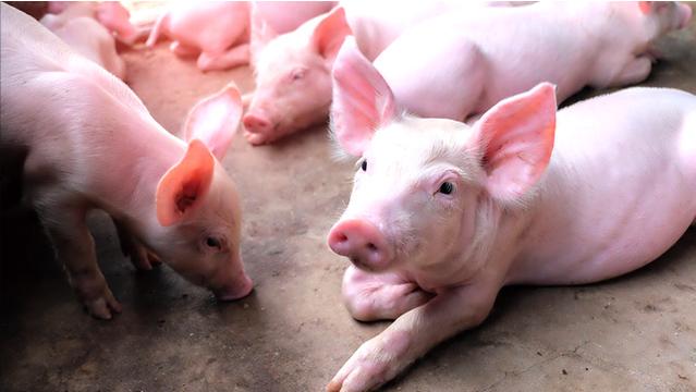 今日子猪价格_临沂猪苗哪里有供应