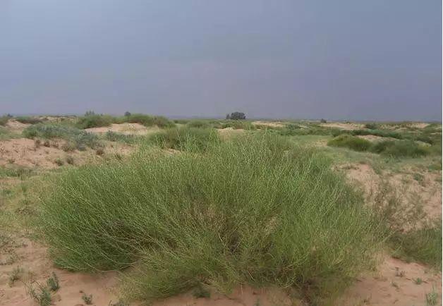 沙蒿种子批发-牧草沙蒿种子厂家哪里有-找上谷农牧业靠谱