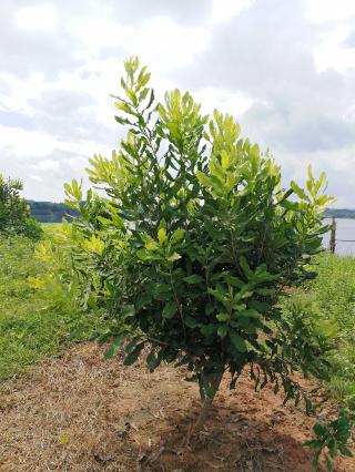 桂热一号种植技术,广西坚果苗种植基地