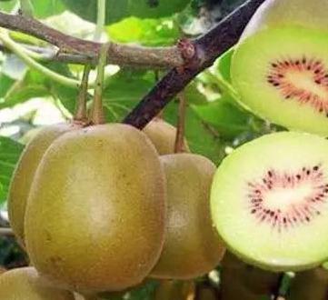 獼猴桃苗_選冠平苗木 獼猴桃適合哪里種植