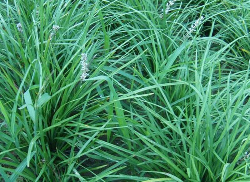 麦冬种植基地//麦冬大量批发
