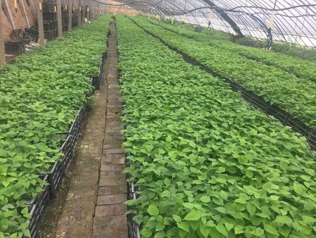 构树苗什么品种好-西安哪里能买到构树苗